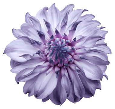 dahlia flower light purple. Flower isolated on a white background. No shadows with clipping path. Close-up. Nature.
