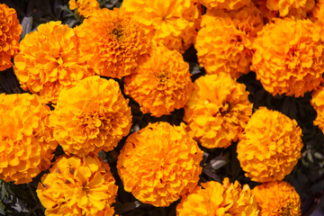 Marigold flower, Lots of beautiful marigold flowers in the garden.