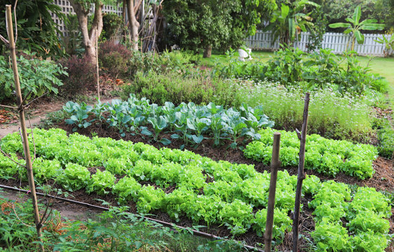 Scenery of several kinds of organic green oak, Chinese kale and other vegetable in backyard garden.