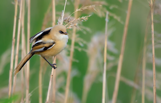Young female Bearded reedling posing in reeds environment with soft light