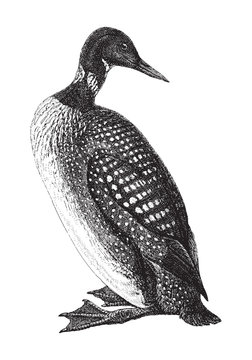 Great Northern Loon or Common Loon (Gavia immer) / vintage illustration from Meyers Konversations-Lexikon 1897