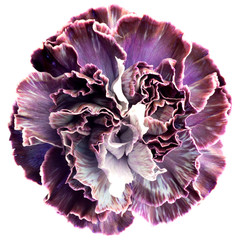 Carnation flower isolated on white background. Arty, bright purple and violet color carnations bloom. Studio shot