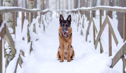 Dog breed German shepherd sits on a snow bridge and licks his lips