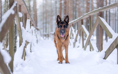Dog breed German shepherd stands on a snow bridge