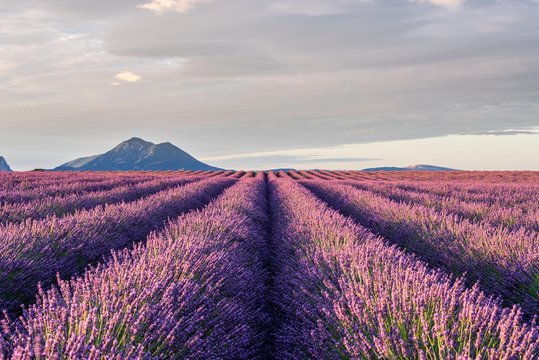 Lavender field in Puimoisson, Provence, France