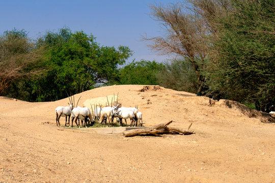 Herd of Arabian Oryx in zoo. Arabian antelopes in their natural habitat.
