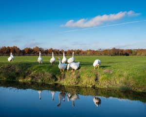 white geese in green meadow under blue sky with reflections in water of canal in holland