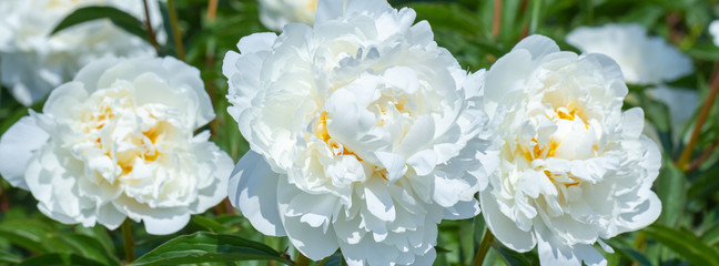 Wall Mural - White flower peony flowering