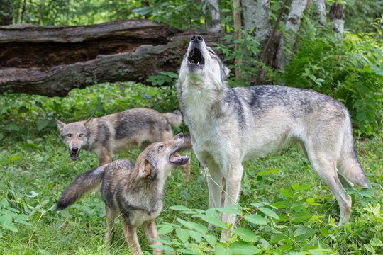 Howling Male wolf with pups