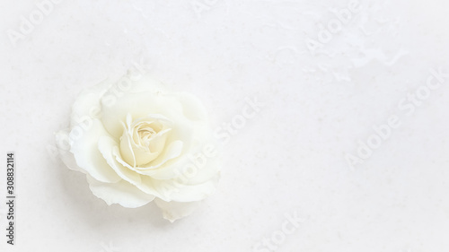 Beautiful white rose on white background. Ideal for greeting cards for wedding, birthday, Valentine's Day, Mother's Day