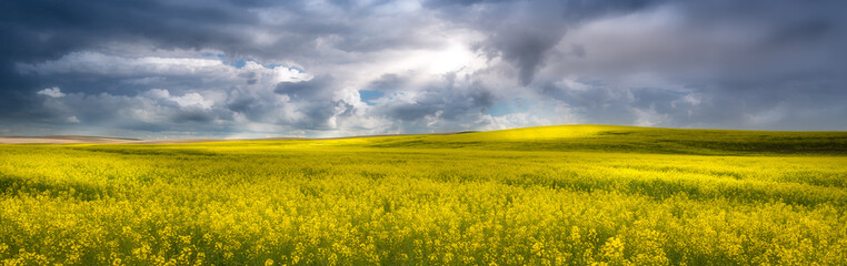 Canvas Prints Honey Yellow canola field in the palouse
