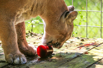 Florida Panther  / Mountain Lion Eating Blood Enrichment  Wall mural