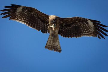 獲物(人工物)を捕らえた鳶(トビ・とんび)の写真|青空, 風景写真 Black Kite in blue sky