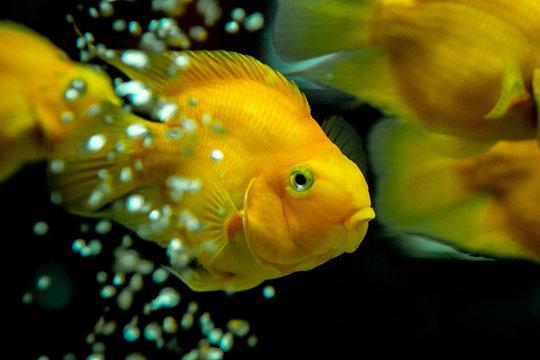 Yellow fish swimmind in tank