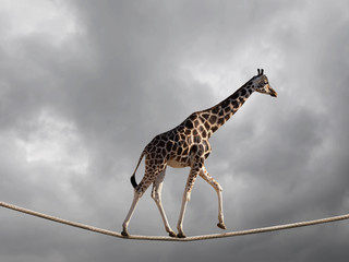 Zelfklevend Fotobehang Giraffe Giraffe walking on rope with stormy clouds. Risk and balancing