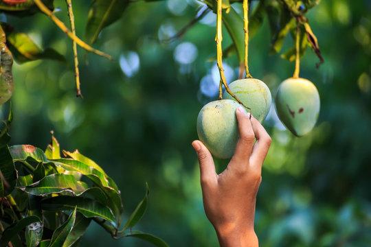 farmer picking mango in organic farm