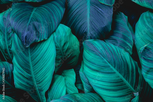 Wall mural leaves of Spathiphyllum cannifolium, abstract green texture, nature background, tropical leaf