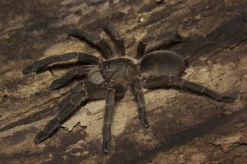 Tarantula, Haploclastus sp, Theraphosidae, Eravikulam National Park, Kerala, India