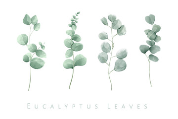 Watercolor isolated eucalyptus leaves in set of 4 branches.