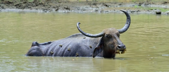 Autocollant pour porte Buffalo Water Buffalo and frogs. / Refreshment of Water buffalo. Male water buffalo bathing in the pond in Sri Lanka. The Sri Lanka wild water buffalo (Bubalus arnee migona),