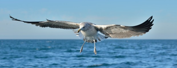 Flying  Juvenile Kelp gull (Larus dominicanus), also known as the Dominican gull and Black Backed Kelp Gull. Blue water of the ocean Background. False Bay, South Africa Fototapete