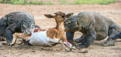 The dragon attacks. The Komodo dragons attacks the prey. The Komodo dragon, Varanus komodoensis, is the biggest living lizard in the world.On Rinca Island. Indonesia.