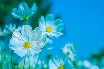 Fond de hotte en verre imprimé Univers Selective soft focus of Beautiful white cosmos flower field in outdoor floral garden meadow with blue sky background. Colorful cosmos flower blooming nature in winter spring season.