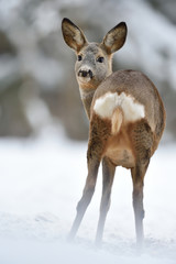roe deer showing its arse in winter