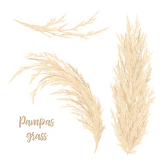 Foto auf AluDibond Weiß Pampas grass golden. Vector illustration. panicle Cortaderia selloana South America