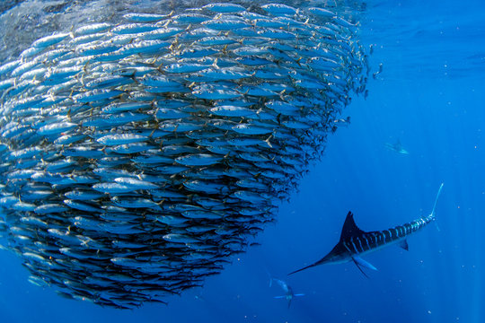 Striped marlin and sea lion hunting in sardine bait ball in pacific ocean