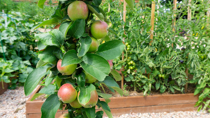 Ripening apples on the branches of a columnar young apple tree on the background of high wooden beds where vegetables are grown according to the principles of organic farming