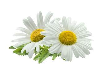 Poster Madeliefjes daisies isolated on white background, daisy isolated on white background