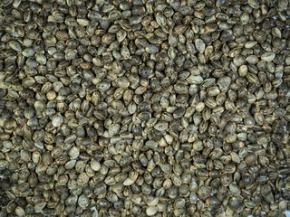 Many Cannabis hemp seeds laying on the table