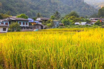 Foto op Canvas Meloen Green and yellow rice field background.