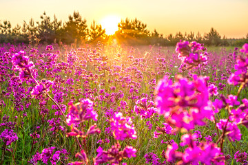 spring landscape with blooming purple flowers on meadow and sunrise