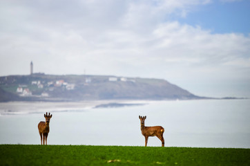 Foto auf Leinwand Reh group of deer on the Opal Coast in northern France