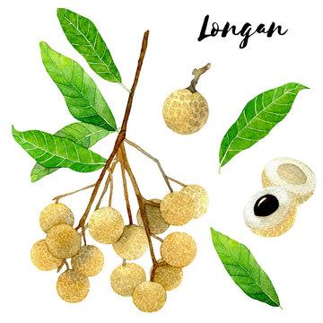 Watercolor longan set. Longan fruit. Hand drawn tropical illustration isolated on white background. Vietnamese fruits.