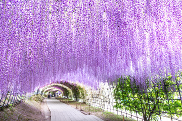Wisteria Tunnel Photos Royalty Free Images Graphics Vectors