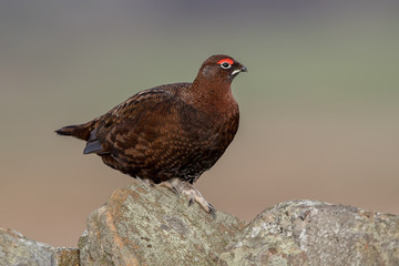 Red Grouse Perched Fotomurales