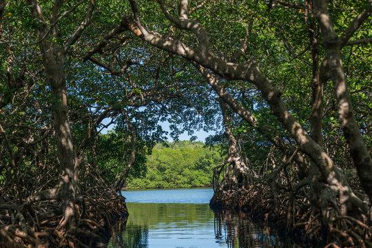 Mangrove Tunnels, Honduras