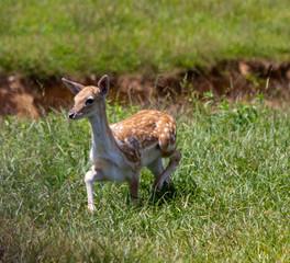 Small Deer Running