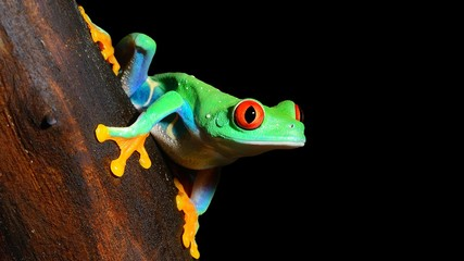 Foto op Canvas Kikker red-eye tree frog Agalychnis callidryas