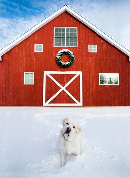 Christmas Barn With White Labrador Retriever