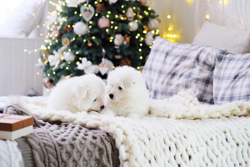 two cute little Samoyed puppies lie on the bed against the background of a Christmas tree and decor.