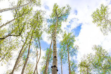 Aspen forest trees grove pattern in summer low angle view looking up at sky in Snodgrass trail in Mount Crested Butte, Colorado in National Forest park mountains