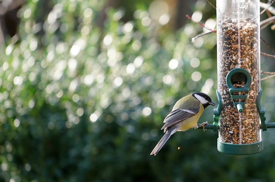 great tit eats seeds from a bird feeder hanging in the garden in winter