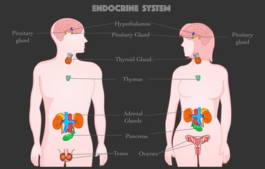 Endocrine system parts anatomy. Annotated. Woman man body. Hormones. Hypothalamus Pituitary gland Thyroid Parathyroids Adrenals Pineal Reproductive organs Ovaries and testes pankreas.  Dark vector