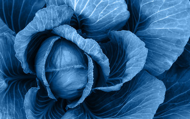 Top view of cabbage leaves colored with blue. Organic cabbage head. Overlay classic blue color on cabbage leaves