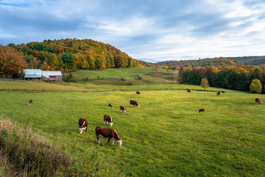 Rolling rural landscape with cattle grazing in a grassy field on a cloudy autumn morning. Beautiful fall foliage. Woodstock, VT, USA.