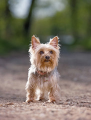 Cute yorkshire terrier sitting out in nature